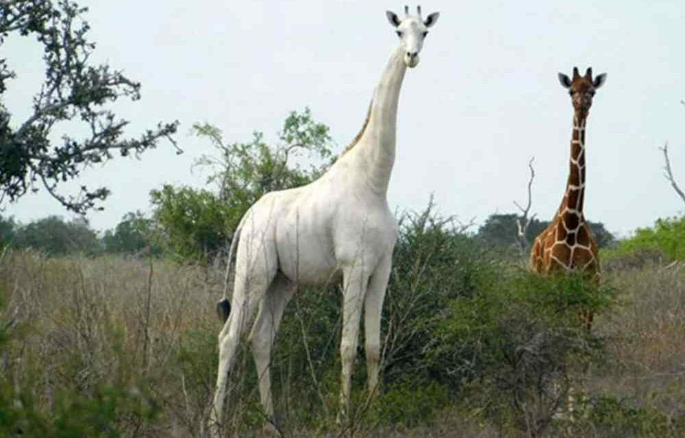 SIGN: Justice for Rare White Giraffe Butchered by Poachers