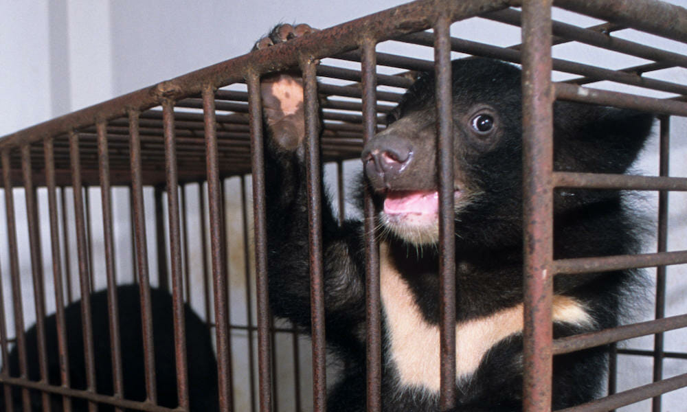 SIGN: Stop China's Promotion of Bear Bile to Treat Coronavirus