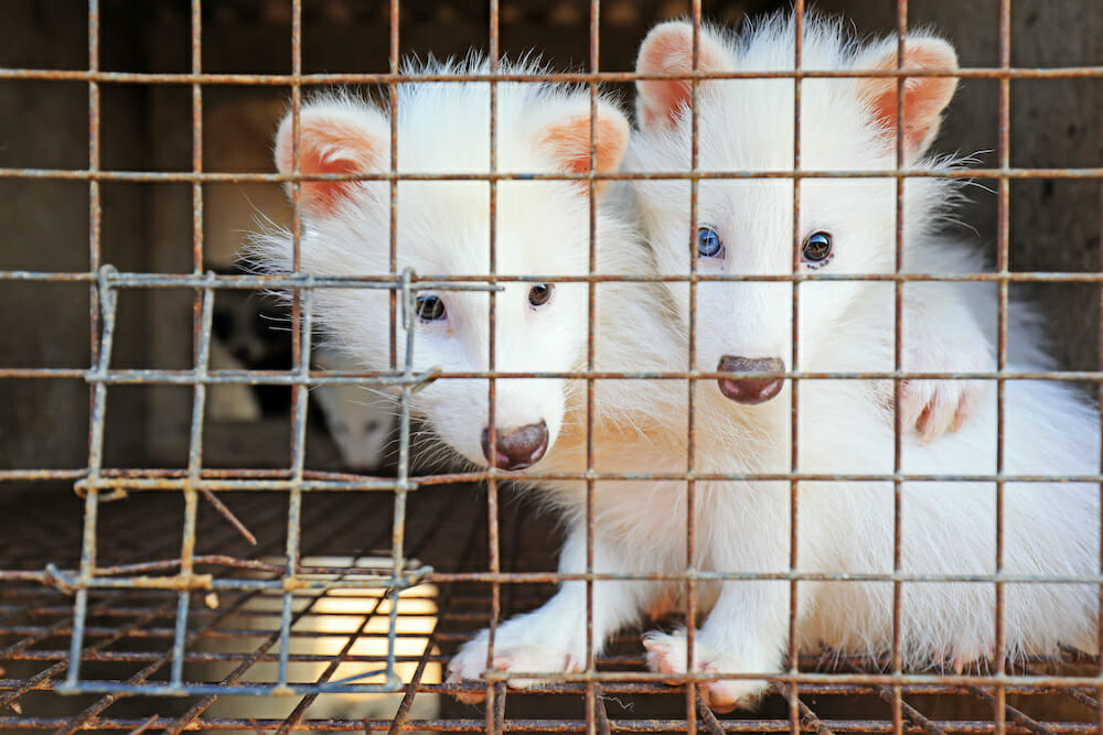 white raccoon in cages on a farm, North China