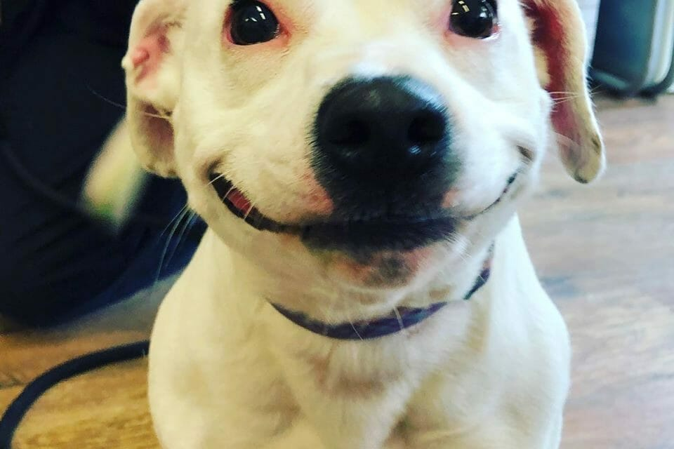 Rescue Staffy's 'Cartoon' Grin Helps Her Find a Loving Forever Home