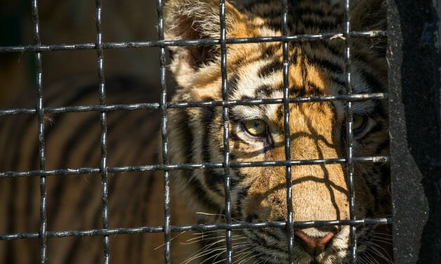 Netflix's 'Tiger King' Falls Short on Animal Abuse [Here's Why the Big Cat Public Safety Act Actually Matters]