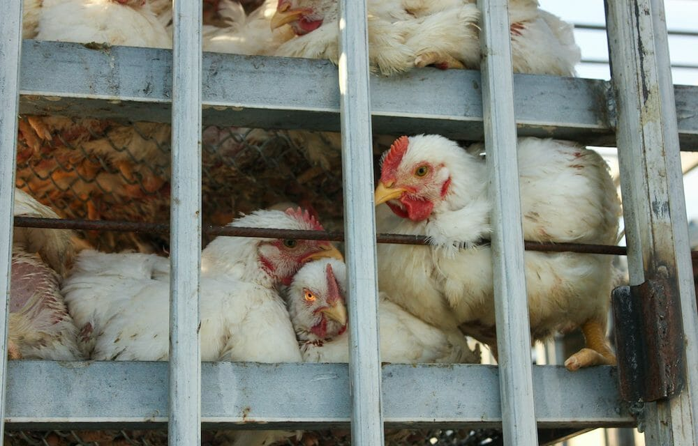 Over 2 Million Chickens Killed in Delaware and Maryland Farms