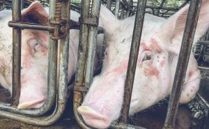 Pigs in cage