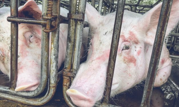 VICTORY! Three Recent Moves That Will Help Spare Hens and Mother Pigs From Cruel Confinement and Suffering