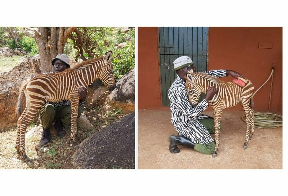 Caretakers Comfort Orphan Baby Zebra by Wearing Striped Coat to Look Like His Mother