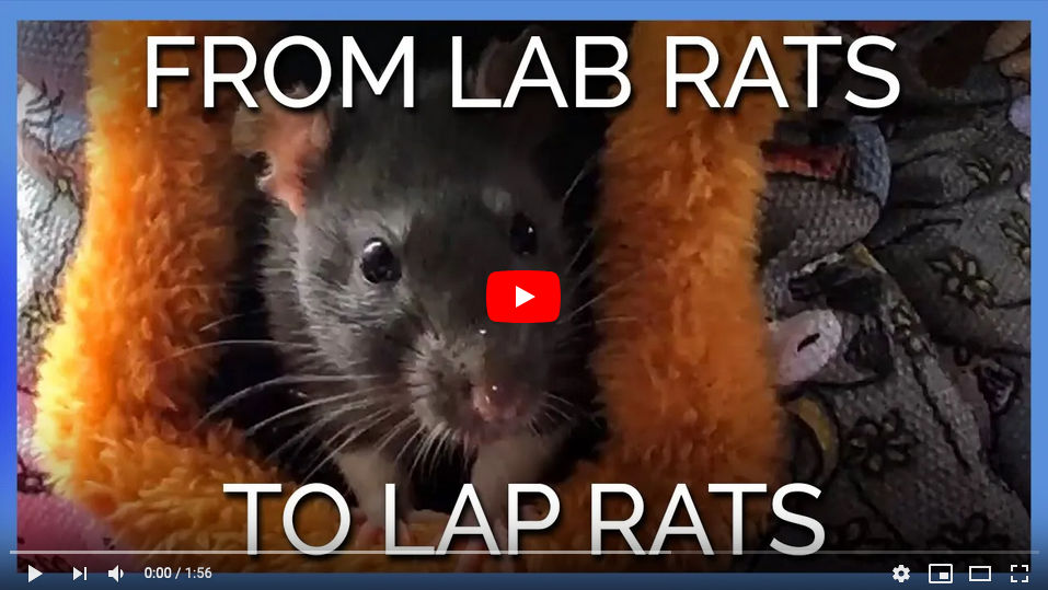 Saved lab rat