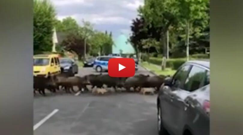 boars crossing road