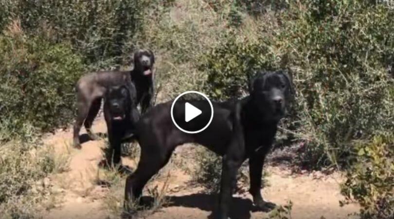 three mastiffs in forest