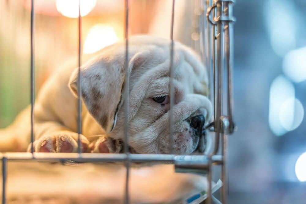 bulldog in cage