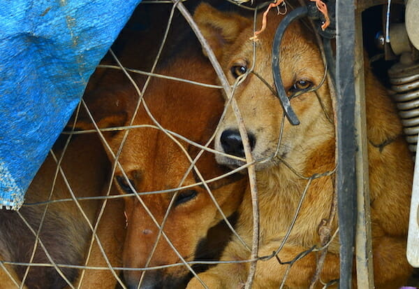 SIGN: Justice for Dogs Killed, Packed in Styrofoam and Smuggled for Vietnam's Meat Trade