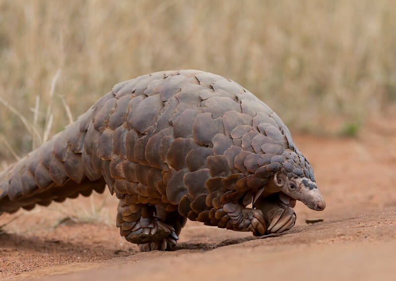 Endangered Pangolins Finally Removed from China's Traditional Medicine List
