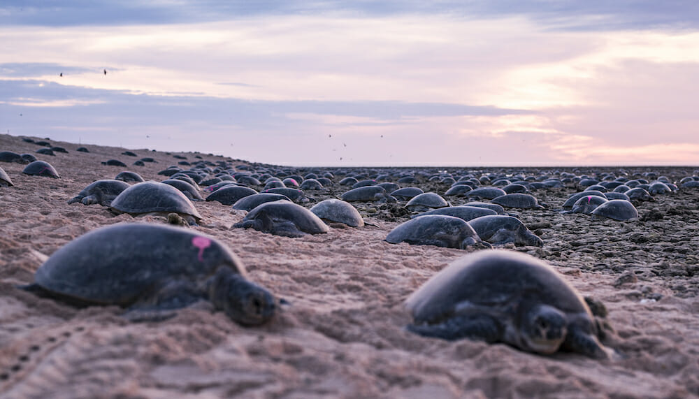 VIDEO: Thousands of Nesting Turtles Captured on Remarkable Drone Footage