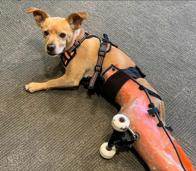 Disabled dog with mobility device