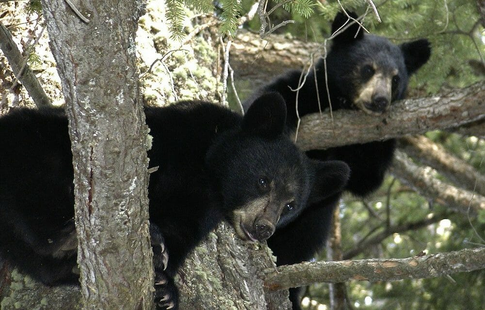 Officer Fired for Refusing to Shoot Bear Cubs Wins In Court