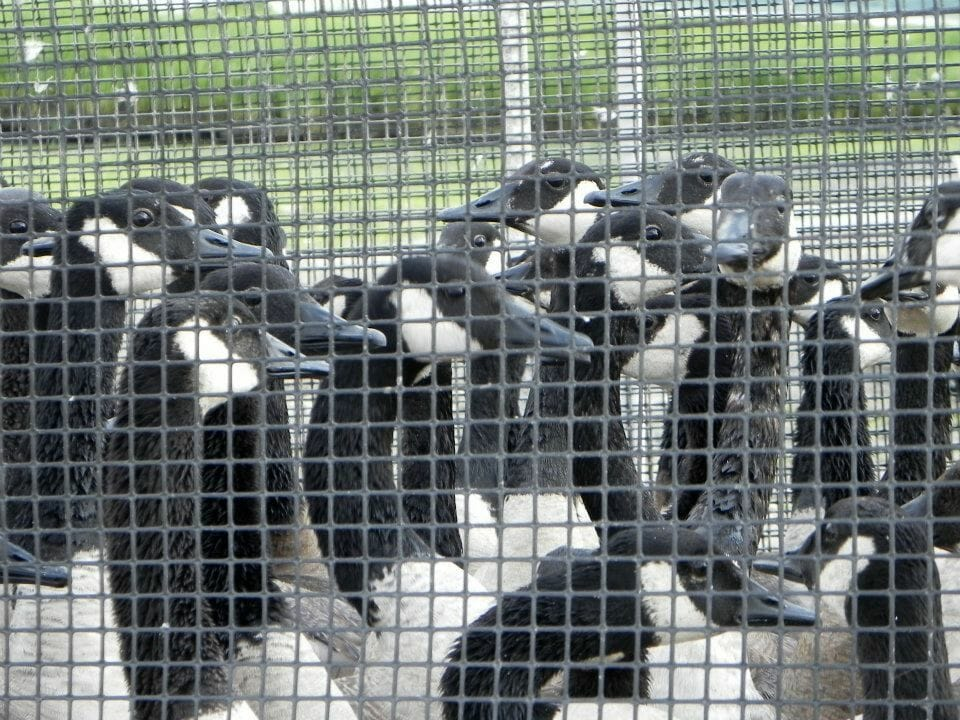 Canada geese in cage