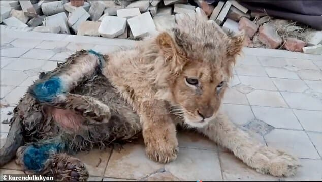 SIGN: Justice for Lion Cub With Legs Broken for Tourist Selfies