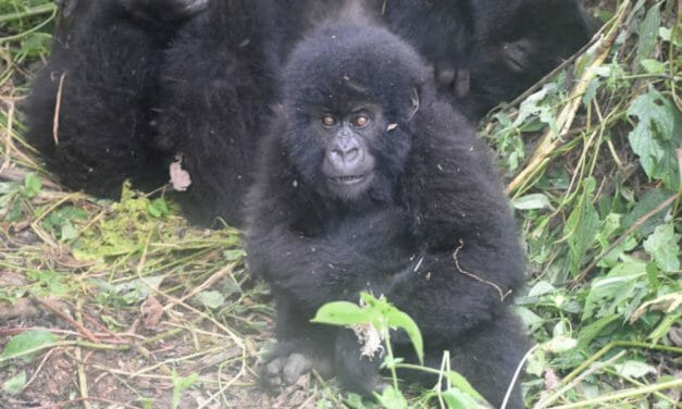 Virunga Rangers Risk Their Lives to Save Young Gorilla Trapped in Poacher's Snare