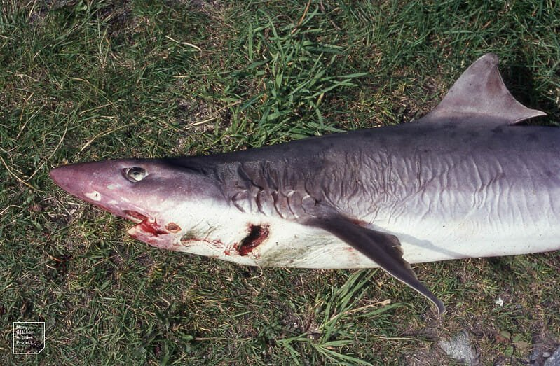 SIGN: Stop Selling Endangered Sharks as 'Fish and Chips'