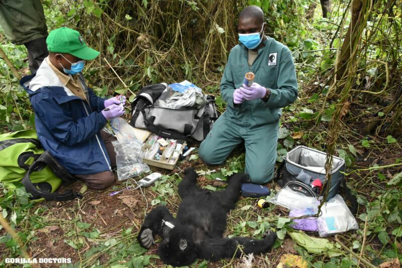 Baby gorilla being rescued