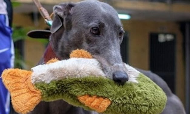 Greyhound Finds Forever Family After Living in Cage at Chinese Racetrack