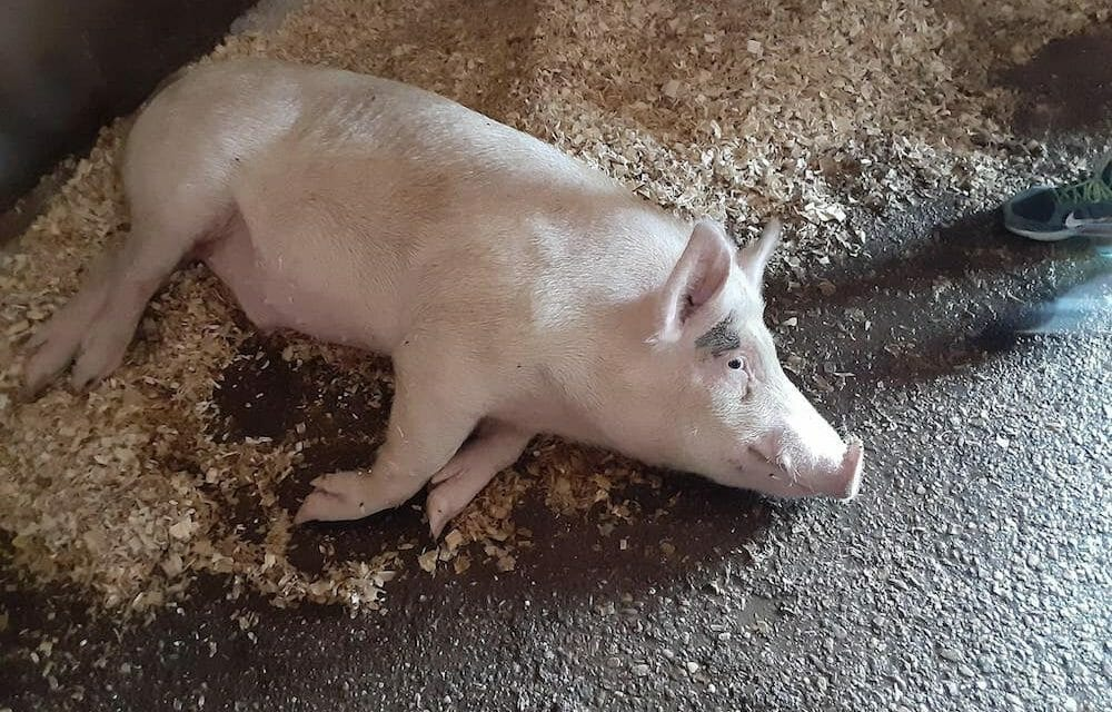 UPDATE: Abused Pig Narrowly Escapes Becoming Mother's Day Meal, Now Enjoying Sanctuary Life