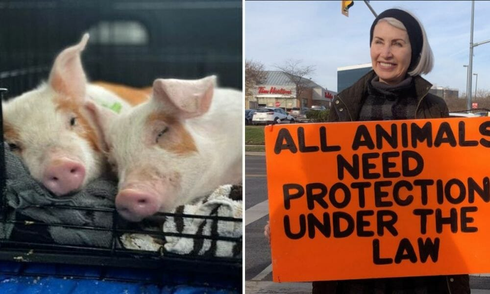 Two Adorable Piglets Saved from Factory Farm in Honor of Killed Activist Regan Russell