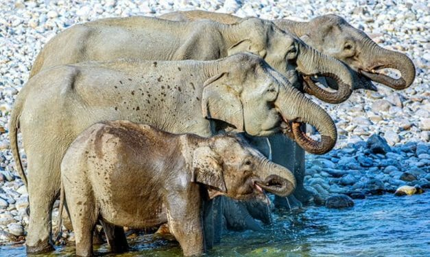 VIDEO: Elephant Family Drinking Water All In A Row Will Brighten Your Day