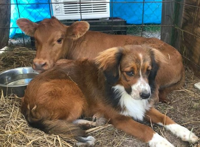 dog and calf friends