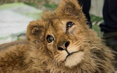 UPDATE: Lion Cub With Legs Broken for Tourist Selfies Is Going to a Sanctuary