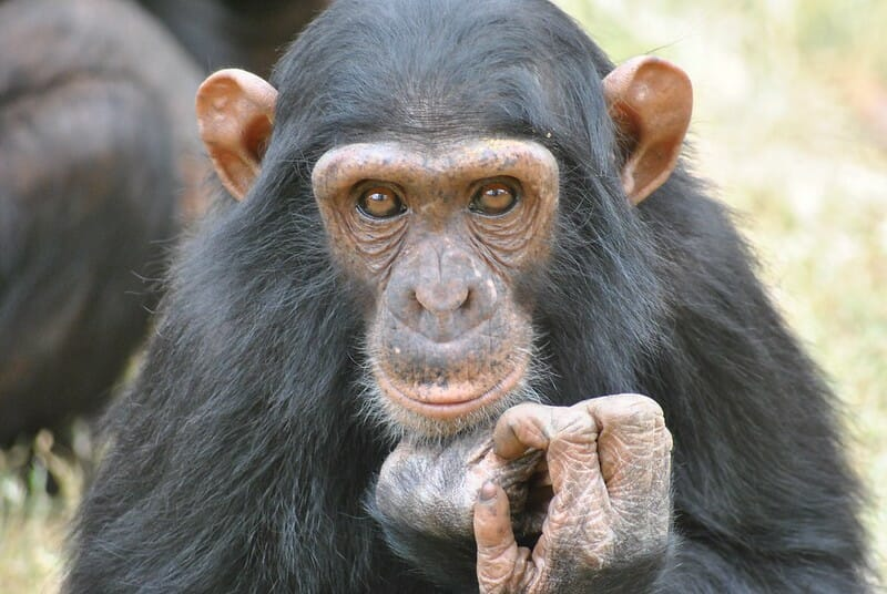 UPDATE: Cameroon Halts Plan to Chainsaw Chimps' Homes