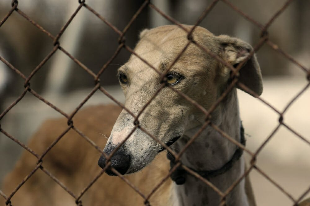 greyhound in cage