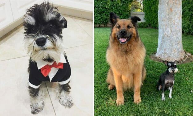 Saved from A Meat Factory in China, Frankl Has Transformed Into A Therapy Dog