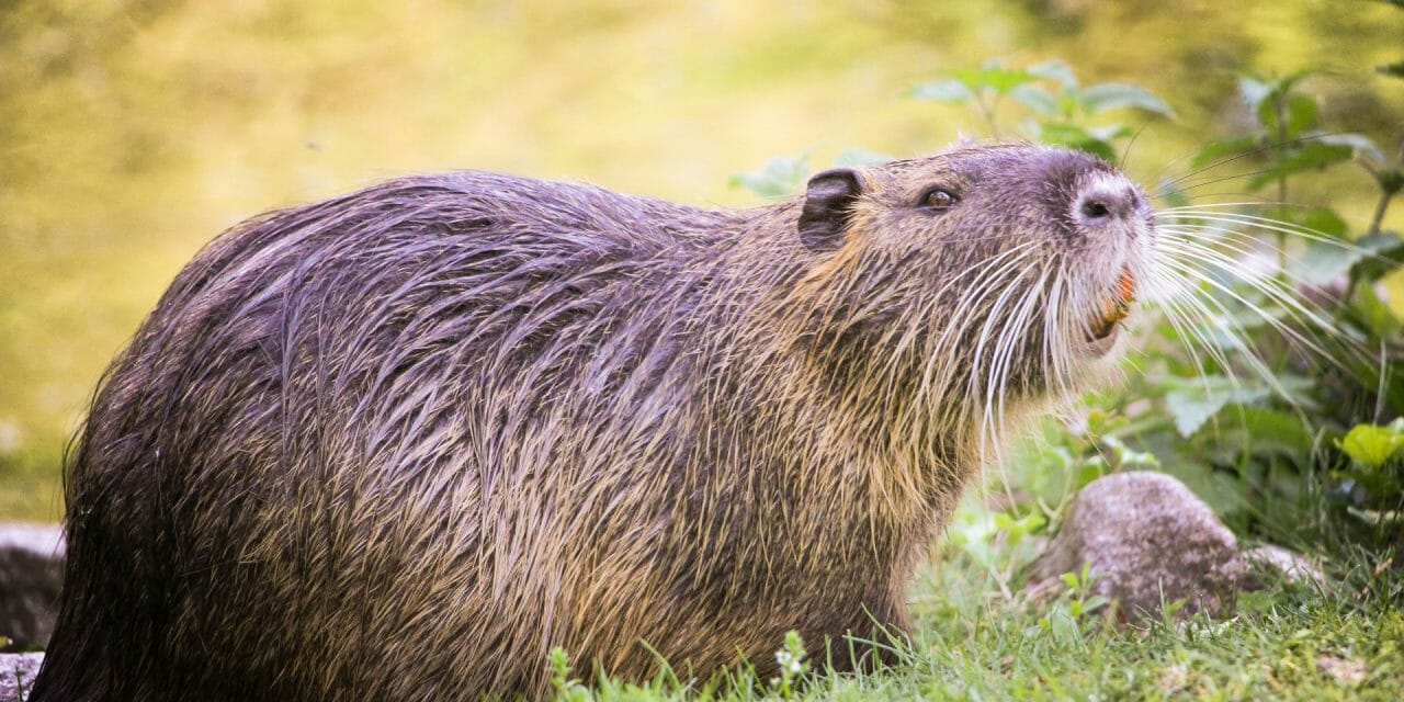 Beavers Win Legal 'Right to Remain' in England for First Time Ever