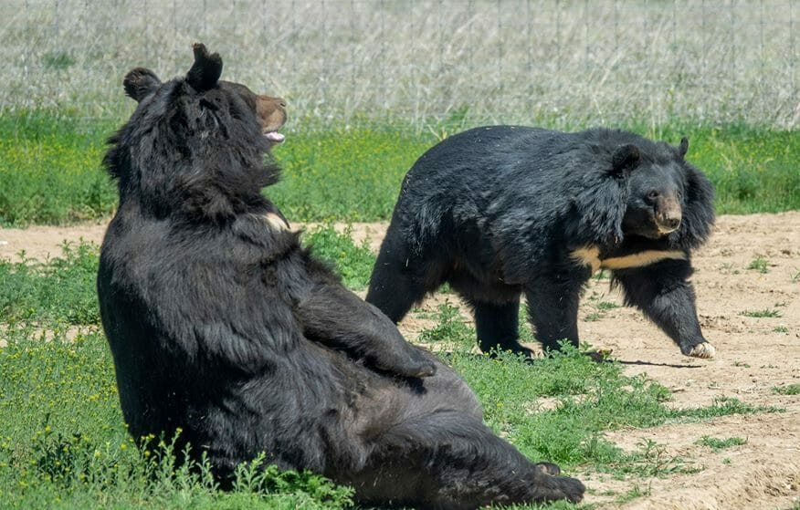 Dillan the Rescued Bear Now Lives in Open, Grassy Sanctuary Near Former 'Tiger King' Tigers