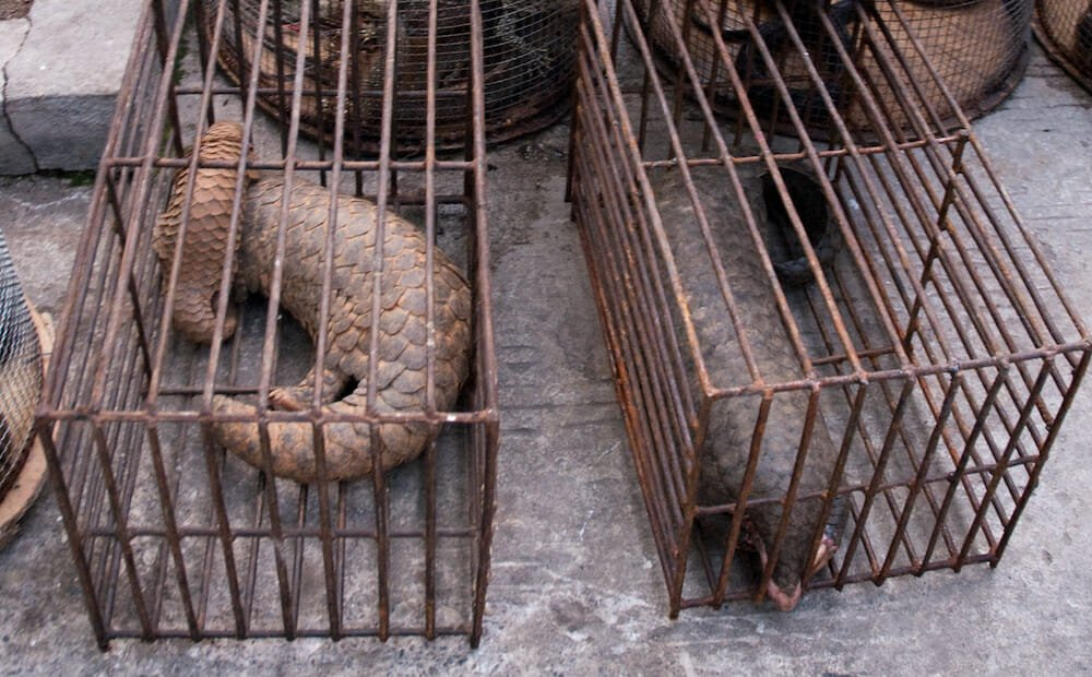 pangolin in cage