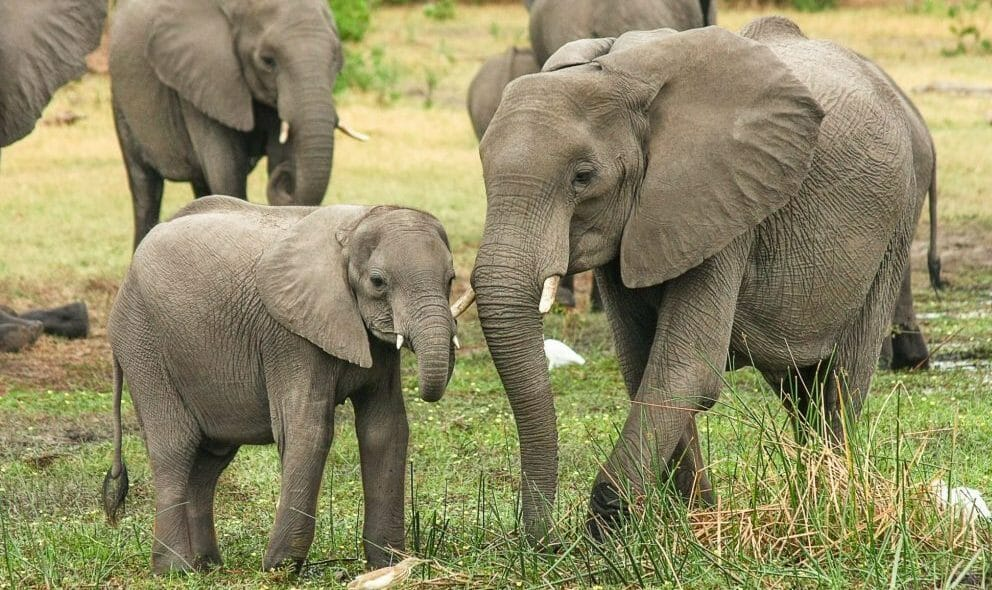 mom and baby African elephants