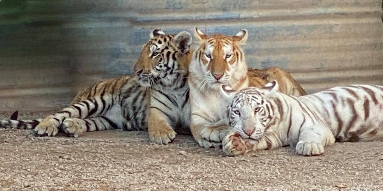 'Tiger King' Zoo Shuts Down After USDA License Suspension