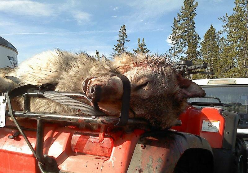 SIGN: Re-list Gray Wolves Under Endangered Species Act To Prevent Massive Slaughter