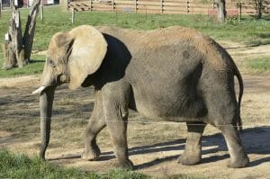 asha the elephant