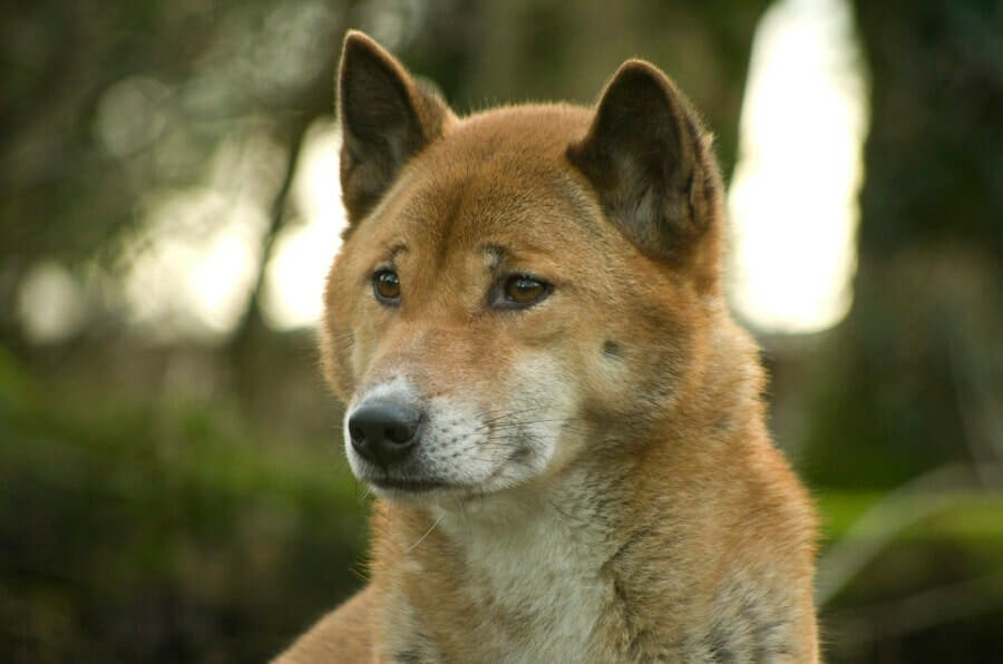 Rare 'Singing' Dog Believed to Have Been Extinct Still Roams the Wilderness