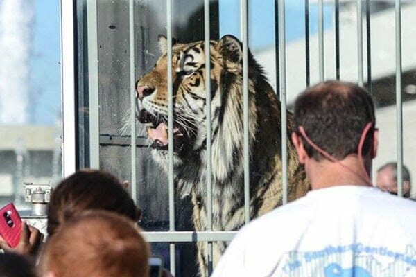 U of Memphis Ends Live Tiger Mascots at Football Games Following Untimely Death of Tom III
