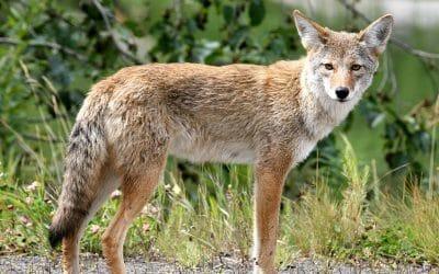 standing coyote