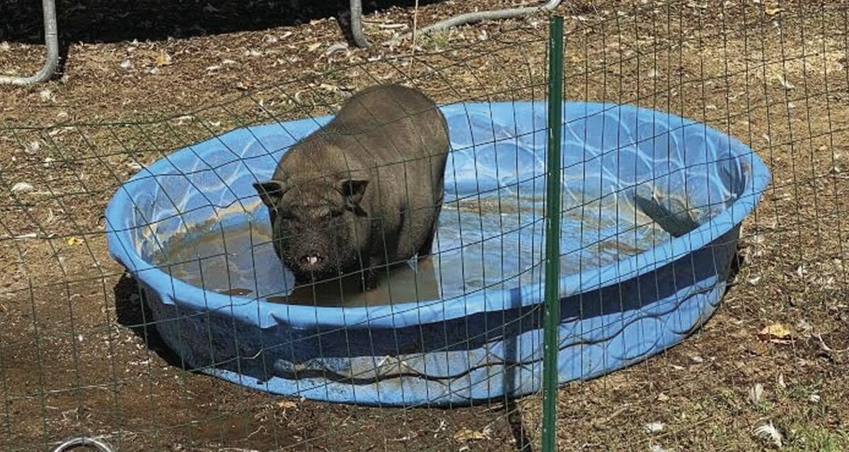 Lost After Tropical Storm Isaias, Francis the Potbellied Pig Finds New Forever Family