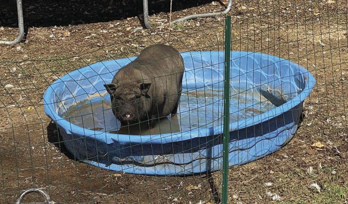 Francis the potbellied pig
