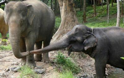 elephants locking trunks