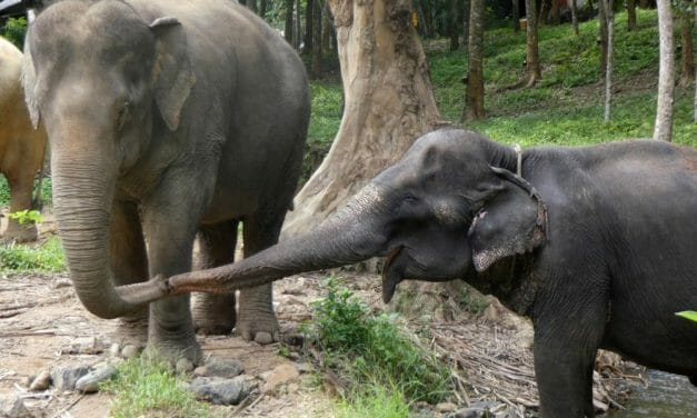 Elephant Forced to Give Tourist Rides Starts New Life with 'Soulmate' in Sanctuary
