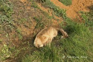 dead Tule Elk