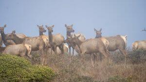 tule elk herd