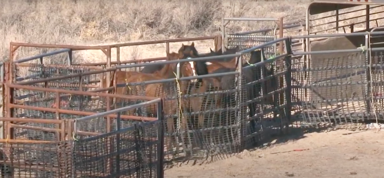 Federal Agency Plans to Brutally Sterilize Utah's Wild Horses