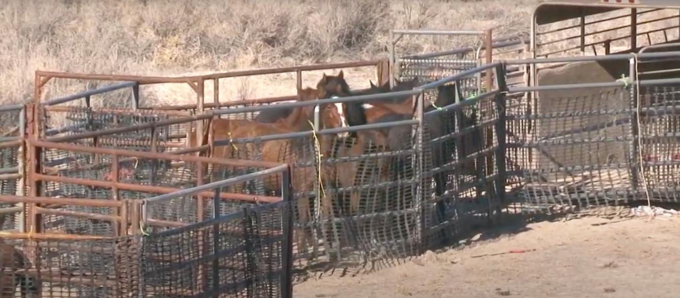 wild horses corralled